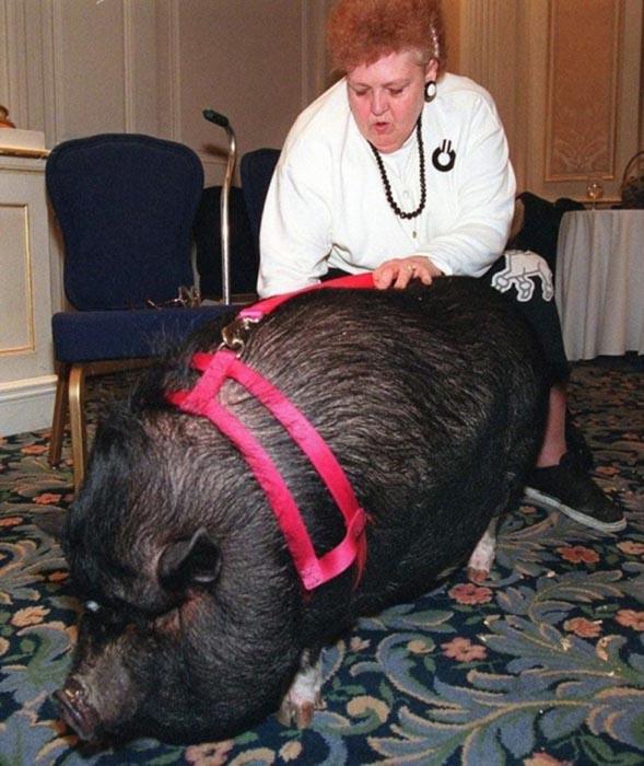 Теперь хозяйка обязана Лулу жизнью, а свинья прославилась на весь мир.